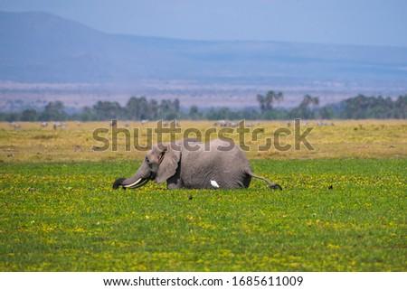 African Elephants or  Tuskers from Amboseli  Kenya #1685611009