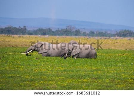 African Elephants or  Tuskers from Amboseli  Kenya #1685611012
