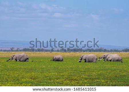African Elephants or  Tuskers from Amboseli  Kenya #1685611015