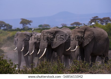 African Elephants or  Tuskers from Amboseli  Kenya Royalty-Free Stock Photo #1685611042