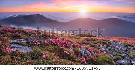 Panoramic view in lawn with pink rhododendron flowers, beautiful sunset with orange sky in summer time. Mountains landscapes. Location Carpathian, Ukraine, Europe. Colorful background. #1685911453