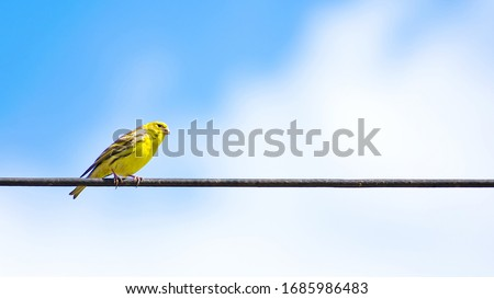 The Atlantic canary bird Serinus canaria , canaries, island canary, canary, or common canaries birds perched on an electric wire. #1685986483