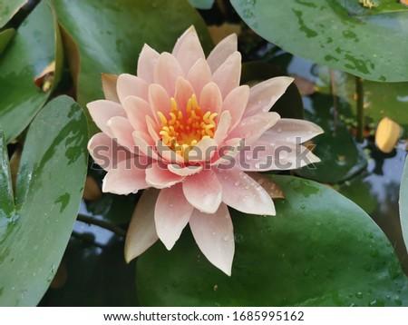 Orange lotus in the park. #1685995162