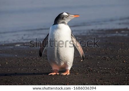 Gentoo Penguin standing on rocky seashore