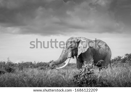 black and white fine art landscape picture with and African red elephant in the savanna in Masai Mara national Park, Ambroseli Kenya