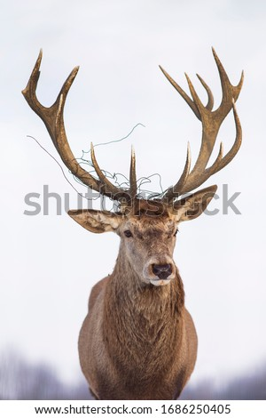 Human impact concept image on wildlife. Beautiful deer with wire tangled around its antlers.