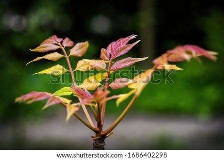 Toona sinensis 'Flamingo' tree - Chinese mahogany or Chinese cedar, family: Meliaceae, macro shot Royalty-Free Stock Photo #1686402298