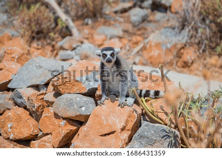 A striped lemur sits on a rock in the mountains at the zoo #1686431359