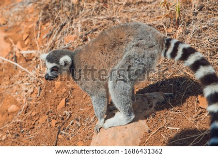 A striped lemur sits on a rock in the mountains at the zoo #1686431362
