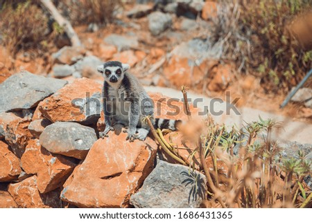 A striped lemur sits on a rock in the mountains at the zoo #1686431365