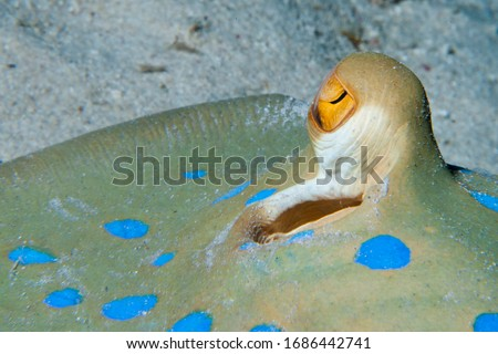 Yellow eye of blue spotted stingray resting on the sea bad