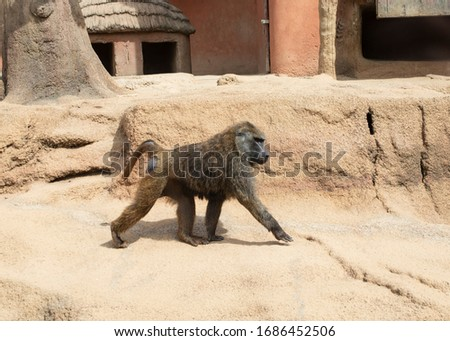 Anubis Baboon(Olive baboon) monkey in the zoo