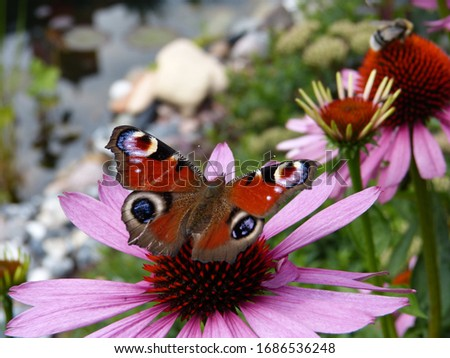 Buterfly (European peacock) on flower. Beautiful insect in my garden. Nature closeup, springfeeling /summerfeeling. Red, pink, green.