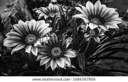 flower garden black and white silhouettes flowers shaded sketch gazania