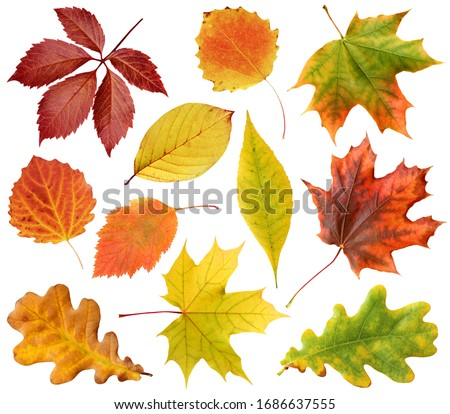 collection of autumn leaves isolated on a white background with clipping path. leaf of oak, maple, hawthorn, aspen. red and yellow foliage. herbarium. #1686637555