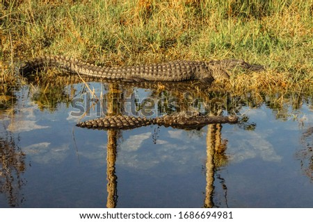 American Alligator swimming in Everglades. Big Alligator resting in water. A wild, American Alligator swims in water of Florida. Alligator close up portrait.  #1686694981