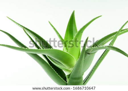 Aloe vera plant isolated on white background. Aloe vera is a succulent plant species of the genus Aloe. It is cultivated for agricultural and medicinal uses Royalty-Free Stock Photo #1686710647