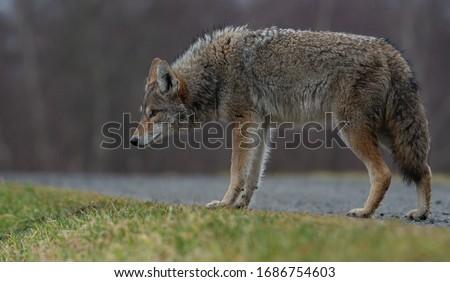 Coyote in British Columbia Canada