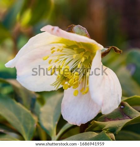 Hellebore in bloom. Christmas rose.  Helleborus caucasicus.  #1686941959