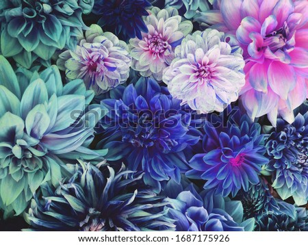Beautiful fresh colorful blue, white and purple dahlia flowers in full bloom. Spring blossoms. Summer floral texture for background. Saturated blue color. Royalty-Free Stock Photo #1687175926