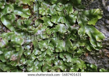 Marchantia polymorpha - Wild plant shot in summer. #1687401631