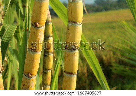 Sugar cane plant grow in field closeup. Royalty-Free Stock Photo #1687405897