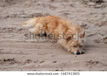 ginger  stray dog lies in the sand #1687413805
