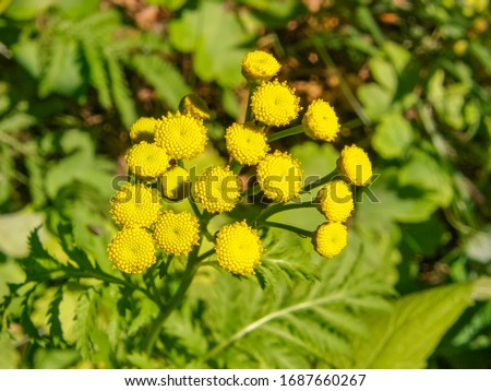 Tanacetum vulgare or Common Tansy, yellow flowers without petals, close up. Blossoms are like golden buttons no ray, only tiny center disc. Herbaceous, flowering plant of the aster family Asteraceae. #1687660267