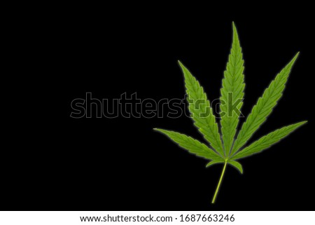 Cannabis leaves. Background with marijuana isolated on back background. Copy space. green cannabis leaf drug marijuana herb Background.