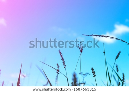Abstract nature blurred background of beautiful sunset & pastel gradient blue sky with colorful grass flowers & silhouette dry leaf at sunny day, selective soft focus & Shallow depth of field concept