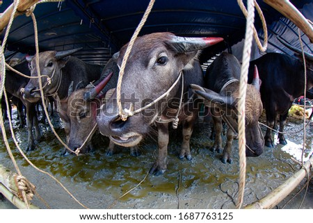Pictures of many Thai buffalo in the pen Suitable for use as a background or as an illustration in a book.