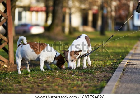 Two Jack Russell terriers walking along the grass. Royalty-Free Stock Photo #1687794826