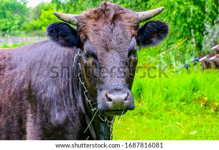 Cow portrait on cow farm. Cow portrait. Cute cow #1687816081