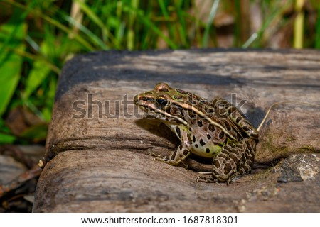northern leopard frog, aka meadow frog, in marshland at Presqu'ile Provincial Park in Ontario #1687818301