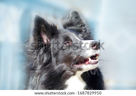 The picture shows a wonderful border collie that is sitting in the sun. The Sun is shining in it's beautiful brown eyes.