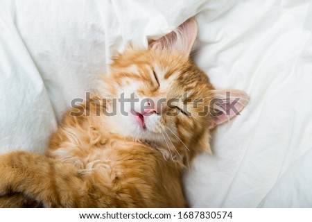 Funny ginger cat sleeping at home. Red kitten covered with blanket. Top view of red cat on sleep time #1687830574