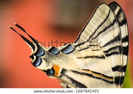 Beautiful wings details of a Swallowtail butterfly (Papilio Machaon). Macro picture