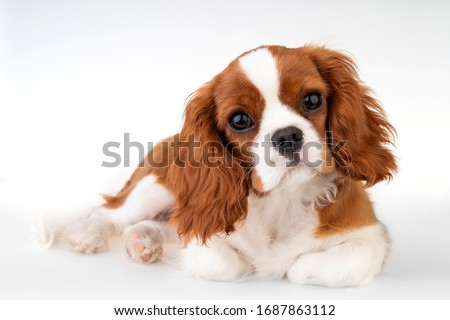 Little dog Cavalier King Charles Spaniel Royalty-Free Stock Photo #1687863112