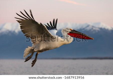Dalmatian pelican in flight. Pelicans from Kerkini lake, Greece. Royalty-Free Stock Photo #1687913956