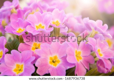 Perennial primrose or primula in the spring garden. Spring primroses flowers, primula polyanthus. Purple primroses in spring woods. Primroses in spring. The beautiful colors of primrose flowers  #1687936738