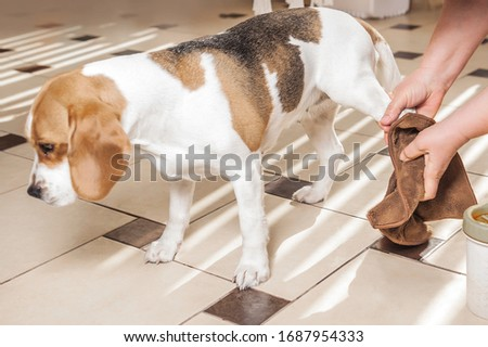 the mistress washes the dog's paws for a beagle and wipes the wet paws with a rag. glass for washing paws. paw washing device Royalty-Free Stock Photo #1687954333