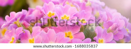 Perennial primrose or primula in the spring garden. Spring primroses flowers, primula polyanthus. Purple primroses in spring woods. Primroses in spring. The beautiful colors of primrose flowers  #1688035837