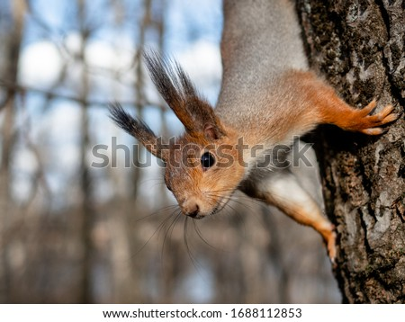 Red squirrel posing on a tree. Portrait of a funny furry squirrel with funny furry ears sitting on a tree/ Royalty-Free Stock Photo #1688112853