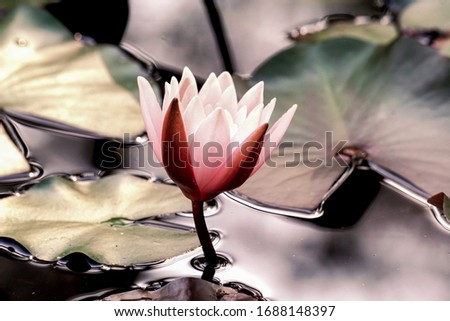 A beautiful and impressive picture of a water lily flower blooming, which is in high resolution.