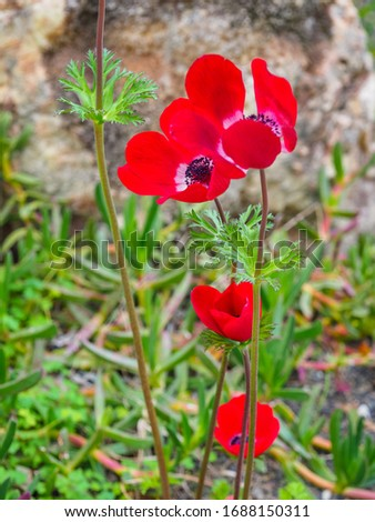 Red Anemone coronaria or fresh poppy anemone flowers, close up. Beautiful Spanish marigold or windflower is a species of flowering plant in the family Ranunculaceae, native to the Mediterranean region #1688150311