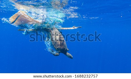 Green sea turtle entangled in a discarded fishing net Royalty-Free Stock Photo #1688232757