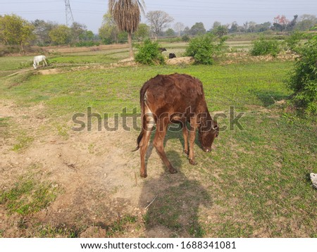Herd of  cattle grazing in a pasture.Cattle grazing in the field.Cows are standing grazing the grass in the rice field. Cattle grazing on a farm, cows, oxen and calves. #1688341081