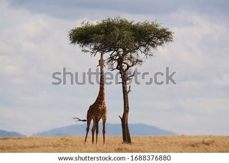 Tall Giraffe eating from a tall tree Royalty-Free Stock Photo #1688376880