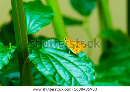 A picture of yellow butterfly on the leaf at herbs garden.