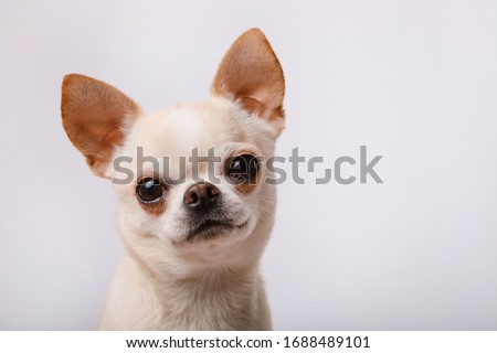 Cute chihuahua on a white background.